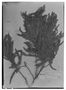 Field Museum photo negatives collection; Genève specimen of Cassia roraimae Benth., BRITISH GUIANA [Guyana], R. H. Schomburgk 582, Syntype, G