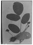 Centrolobium paraense image