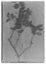 Field Museum photo negatives collection; Genève specimen of Cynometra bauhiniaefolia Benth., BRITISH GUIANA [Guyana], Schomburgk 231, Possible type, G