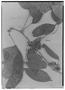 Field Museum photo negatives collection; Genève specimen of Inga graciliflora Benth., BRITISH GUIANA [Guyana], R. H. Schomburgk 756, Isotype, G