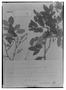 Myrocarpus fastigiatus image