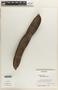 Delonix regia (Bojer in Hook.) Raf., Honduras, J. G. Saunders 851, F