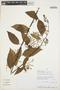 Chamissoa altissima (Jacq.) Kunth, PERU, Rod. Vásquez 22453, F