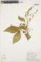 Chamissoa altissima (Jacq.) Kunth, PERU, Rod. Vásquez 447, F