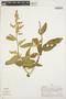 Chamissoa altissima (Jacq.) Kunth, PERU, A. H. Gentry 18670, F