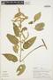 Chamissoa altissima (Jacq.) Kunth, PERU, A. H. Gentry 19642, F