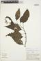 Chamissoa altissima (Jacq.) Kunth, PERU, A. H. Gentry 25683, F