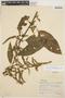 Chamissoa altissima (Jacq.) Kunth, PERU, 2491, F