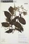 Chamissoa altissima (Jacq.) Kunth, PERU, C. Díaz S. 7309, F