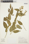 Chamissoa altissima (Jacq.) Kunth, PERU, P. J. Barbour 5700, F