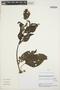Chamissoa altissima (Jacq.) Kunth, Peru, V. Quipuscoa S. 2207, F