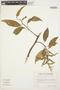 Chamissoa altissima (Jacq.) Kunth, ECUADOR, G. W. Harling 11858, F