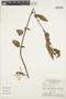 Chamissoa altissima (Jacq.) Kunth, BRAZIL, G. T. Prance 12082, F