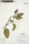 Chamissoa altissima (Jacq.) Kunth, BRAZIL, J. J. Strudwick 3991, F
