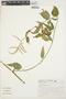 Chamissoa altissima (Jacq.) Kunth, BRAZIL, S. Romaniuc Neto 1327, F