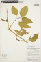 Chamissoa altissima (Jacq.) Kunth, BRAZIL, S. R. Hill 13173, F