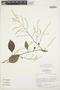 Chamissoa altissima (Jacq.) Kunth, BRAZIL, C. R. Sperling 5801, F