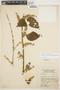 Chamissoa altissima (Jacq.) Kunth, COLOMBIA, R. Scolnik 19An334, F