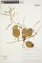 Chamissoa altissima (Jacq.) Kunth, VENEZUELA, J. A. Steyermark 122940, F
