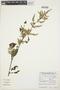 Chamissoa altissima (Jacq.) Kunth, ARGENTINA, C. Saravia Toledo 14361, F