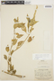 Chamissoa altissima (Jacq.) Kunth, COLOMBIA, E. P. Killip 14818, F