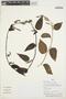 Chamissoa altissima (Jacq.) Kunth, Peru, H. Beltrán Santiago 5628, F