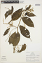 Chamissoa altissima var. altissima, Peru, R. B. Foster 2719, F