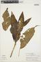 Chamissoa altissima var. altissima, Peru, R. B. Foster 3108, F