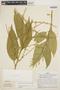Chamissoa altissima (Jacq.) Kunth, PERU, J. Schunke Vigo 3416, F