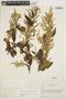 Chamissoa altissima (Jacq.) Kunth, ECUADOR, R. Espinosa 1707, F