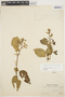 Chamissoa altissima (Jacq.) Kunth, ECUADOR, H. F. A. von Eggers 15060, F
