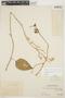 Chamissoa altissima (Jacq.) Kunth, PERU, Ll. Williams 498, F