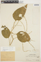 Chamissoa altissima (Jacq.) Kunth, PERU, Ll. Williams 2650, F