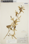 Chamissoa altissima (Jacq.) Kunth, GUYANA, M. R.  Schomburgk 586, F