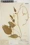 Chamissoa altissima (Jacq.) Kunth, PERU, Ll. Williams 8196, F
