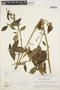 Chamissoa altissima (Jacq.) Kunth, VENEZUELA, J. A. Steyermark 87752, F