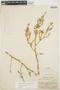 Chamissoa altissima (Jacq.) Kunth, COLOMBIA, E. P. Killip 17765, F