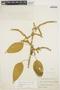Chamissoa altissima (Jacq.) Kunth, COLOMBIA, A. E. Lawrence 224, F