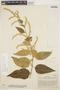Chamissoa altissima (Jacq.) Kunth, COLOMBIA, A. Dugand G. 326, F