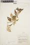 Chamissoa altissima (Jacq.) Kunth, COLOMBIA, G. Gutiérrez V. 17C154, F