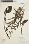Chamissoa altissima (Jacq.) Kunth, BRAZIL, B. Rosengurtt 9513, F