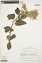 Chamissoa altissima (Jacq.) Kunth, ECUADOR, B. Øllgaard 8989, F