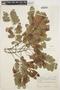 Hymenolobium petraeum Ducke, BRAZIL, A. Ducke 78, F