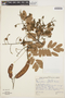 Hymenolobium petraeum Ducke, BRAZIL, A. Ducke 23838, F