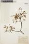 Hymenolobium petraeum Ducke, BRAZIL, A. Ducke 126, F