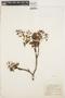 Hymenolobium petraeum Ducke, BRAZIL, A. Ducke 733, F