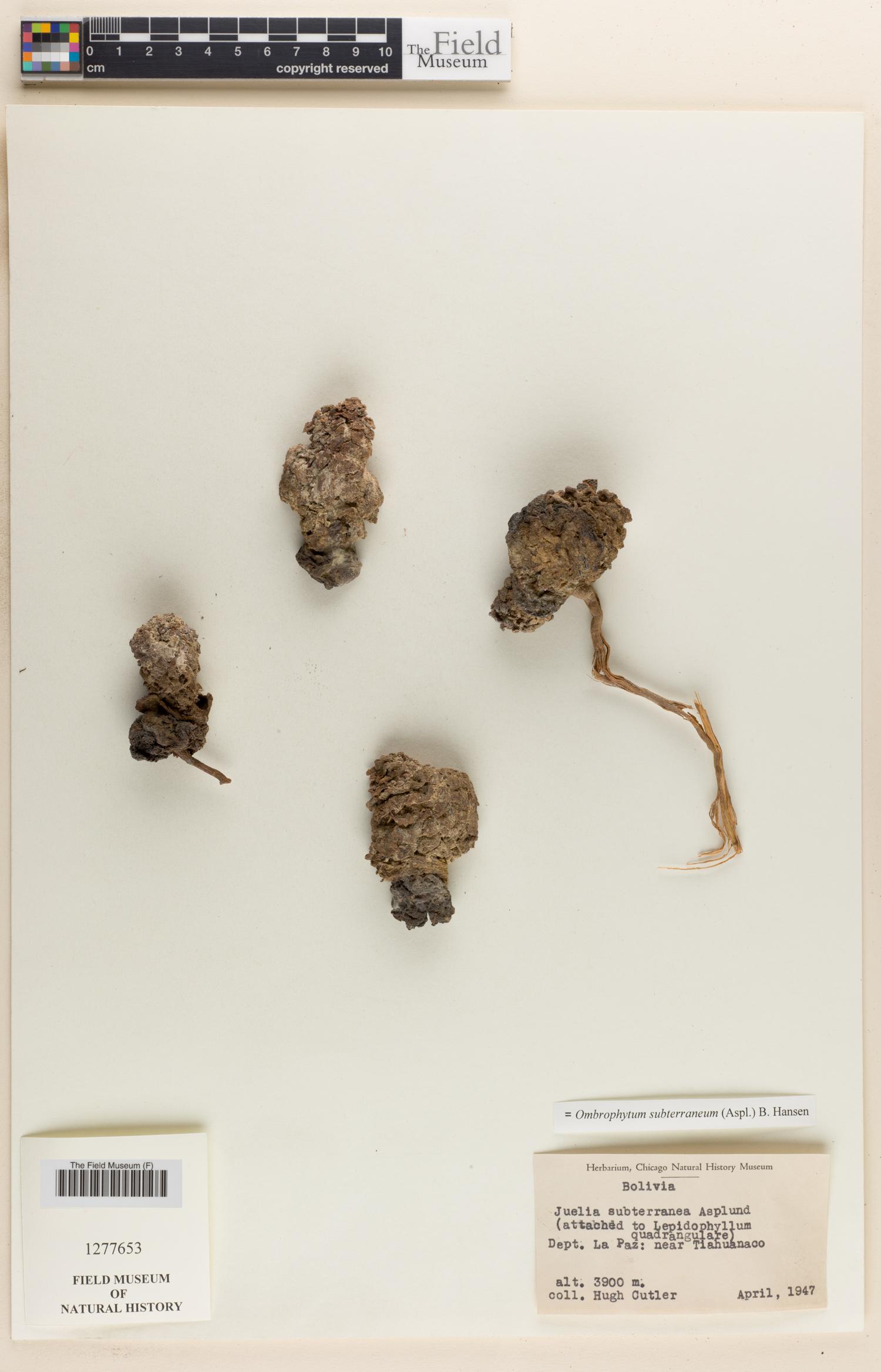 Ombrophytum subterraneum image