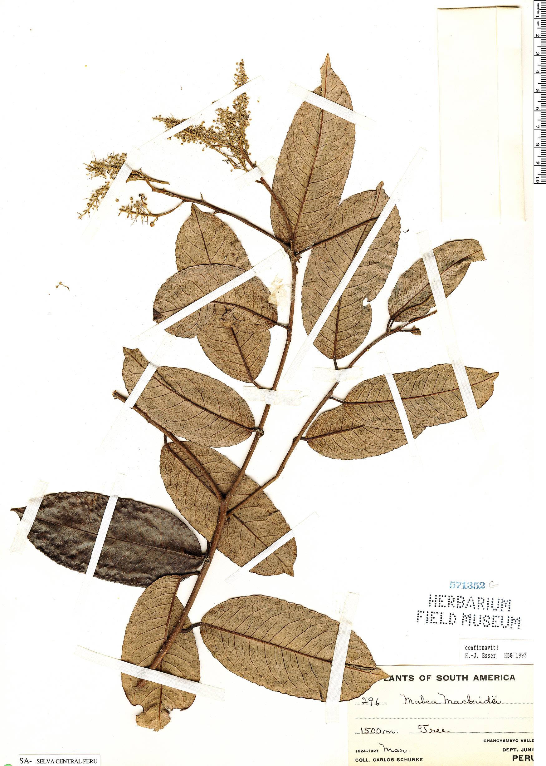 Specimen: Mabea macbridei