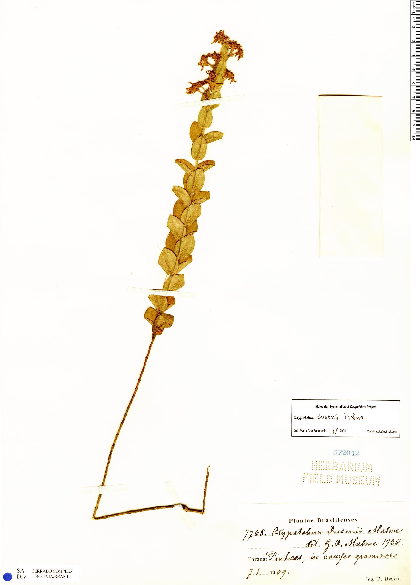 Specimen: Oxypetalum dusenii