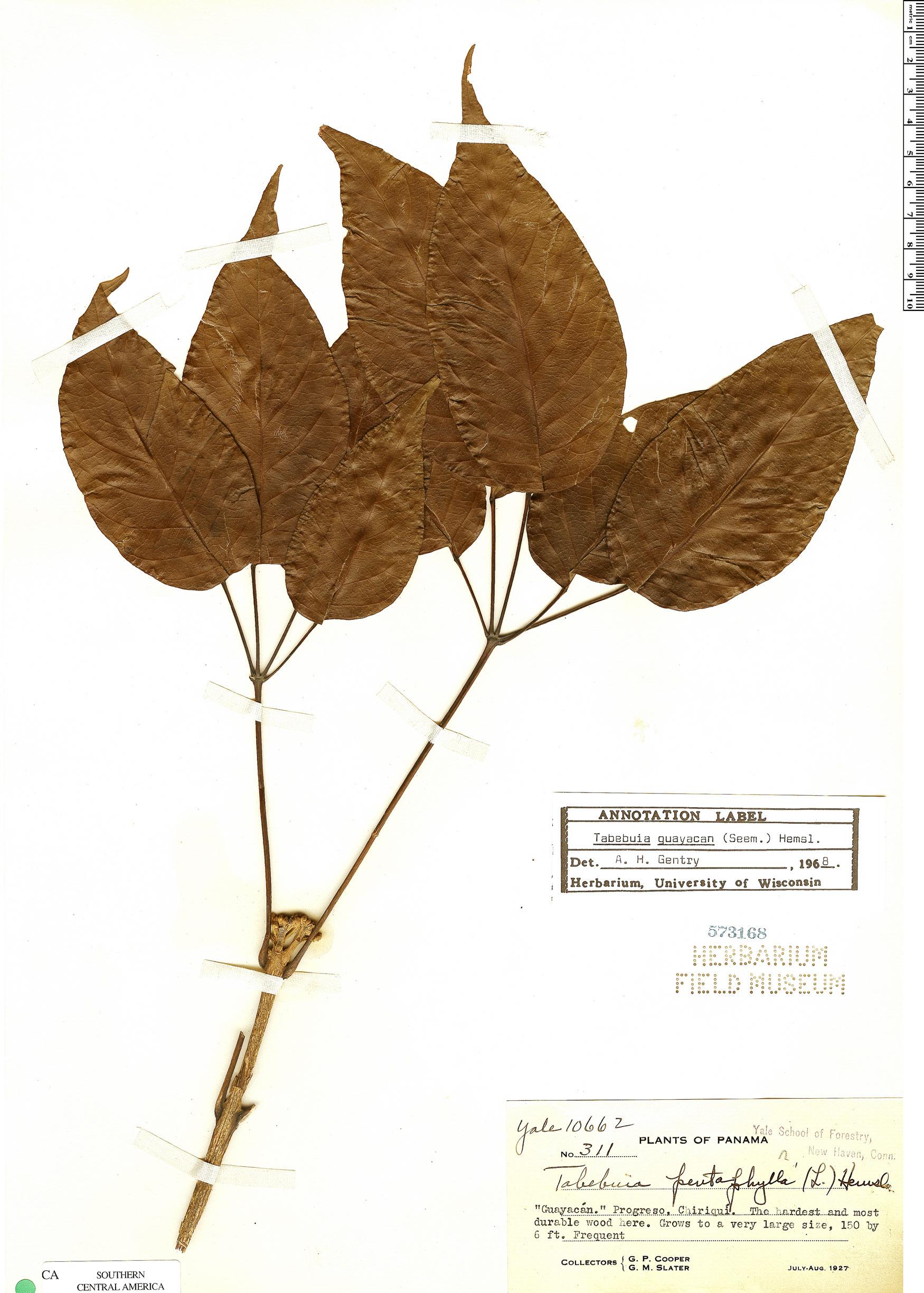 Specimen: Handroanthus guayacan